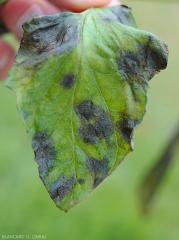 Détail des taches humides et noirâtres présentes à la face supérieure d'une foliole de tomate. <b><i>Didymella lycopercisi</i></b> (taches à <i>Didymella</i>, <i>Didymella</i> leaf spot)