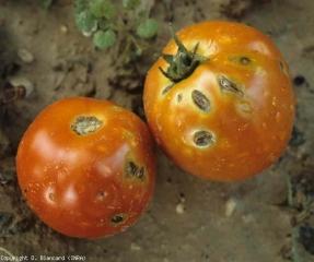 Les lésions occasionnées par les grêlons sont plus conséquentes sur ce fruit. Nous pouvons observer de larges taches circulaires brunes, diffuses, montrant des fentes plus ou moins importantes. <b>Dégâts dus à la grêle</b> (hail injuries)