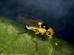 Chez <b><i>Liriomyza bryoniae</i></b> (mouche mineuse, leafminer), les insectes adultes sont jaunes et noires. Les femelles portent une tache noire sur l'abdomen. Les mouches de <i>L. trifolii</i> ont une couleur gris noir ; leur tête est jaune et leurs yeux rouges. Des taches jaunes sont visibles sur le thorax. Les adultes de <i>L. huidobrensis</i> sont plus foncés. Les femelles présentent une tache noire sur l'abdomen.