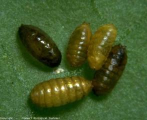 Pupes de mineuse de couleur ocre à marron foncé. <b><i>Liriomyza bryoniae</i></b> (mouche mineuse, leafminer)