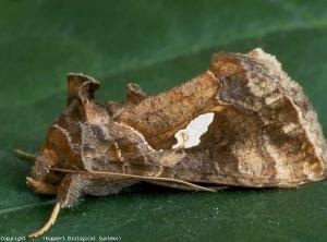 Papillon de <b><i>Chrysodeixis chalcites</i></b> (papillon de nuit, noctuelle)